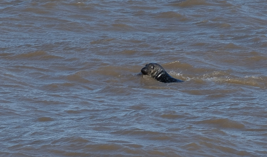 Seal at Scratby Beach