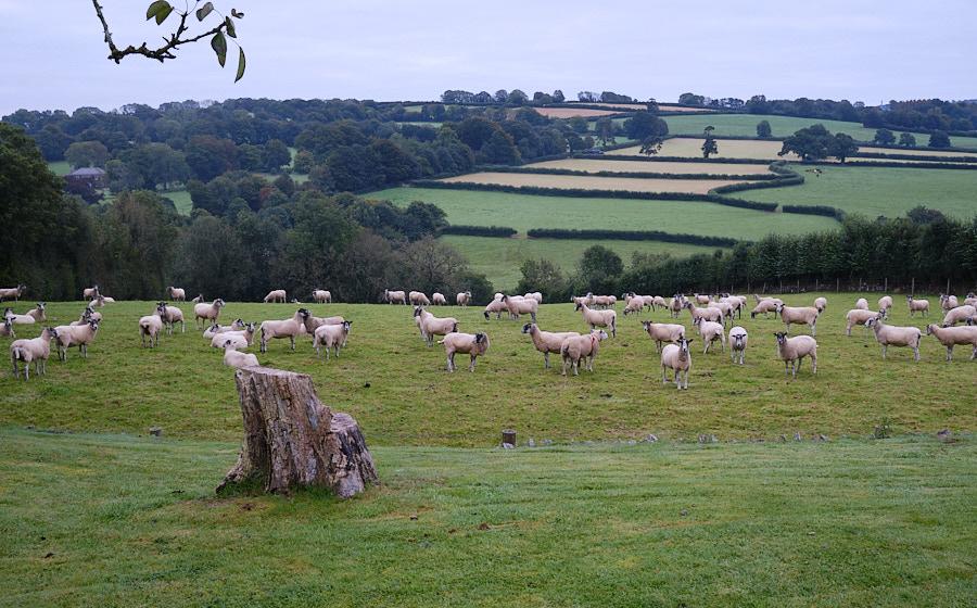 Sheep peacefully grazing