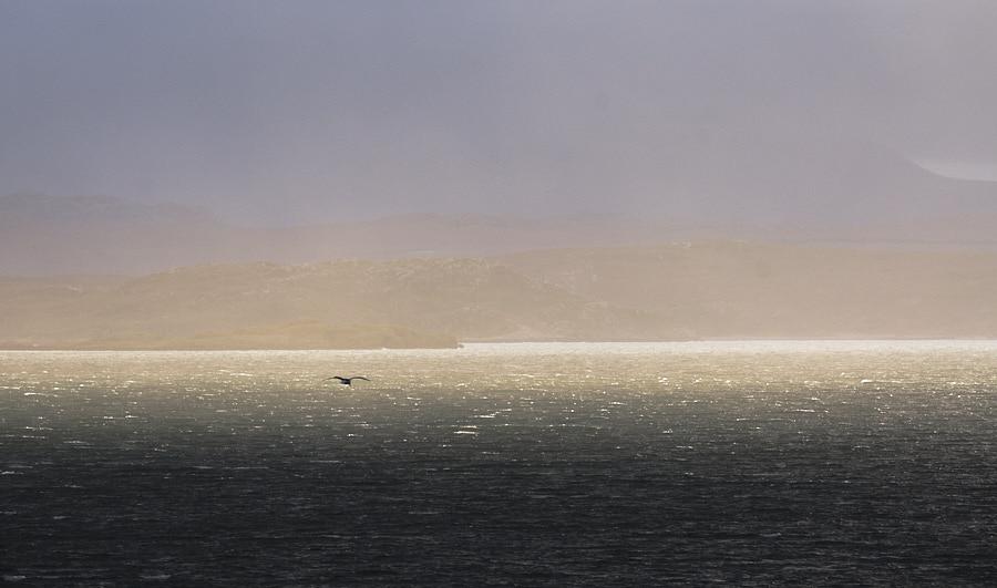 Hebridean Seagull